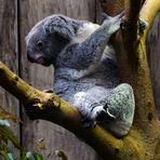 Koalabär - hoffentlich fall ich da nicht runter