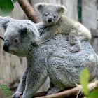 Koalamama mit Kind