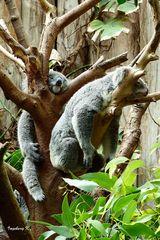 Koalas beim Mittagsschlaf - Zoo Duisburg