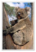 Koalas • Flinders Chase National Park