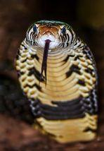 Kobra und der            feige Fotograf -           oder doch nicht feige?