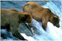 - Kodiak Bären beim Lachs fischen - ( Ursus artcttos )