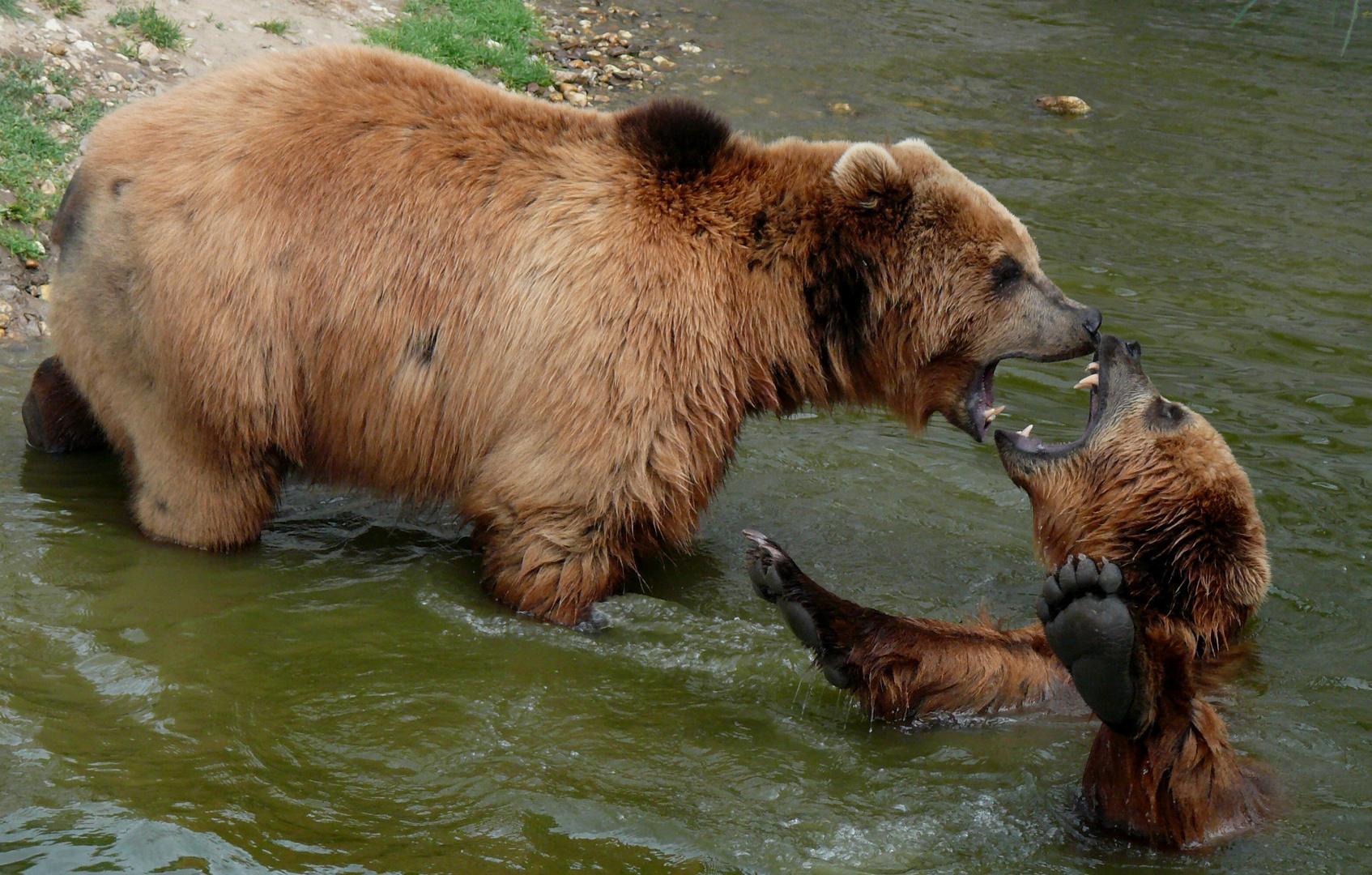 kodiakbären in der zoomerlebniswelt foto  bild  tiere