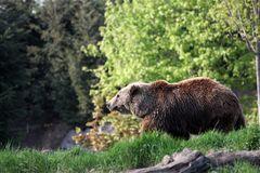 Kodiakbär