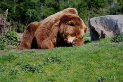 Kodiakbär mit Kopfschmerzen