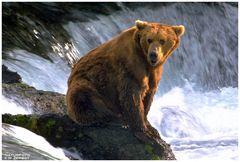 - Kodiakbär - ( Ursus artctes )