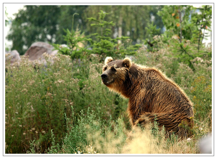 Kodiakbär, ZOOM-ERLEBNISWELT Alaska