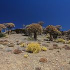Köcherbäume nördlich von Clanwilliam in Südafrika 7