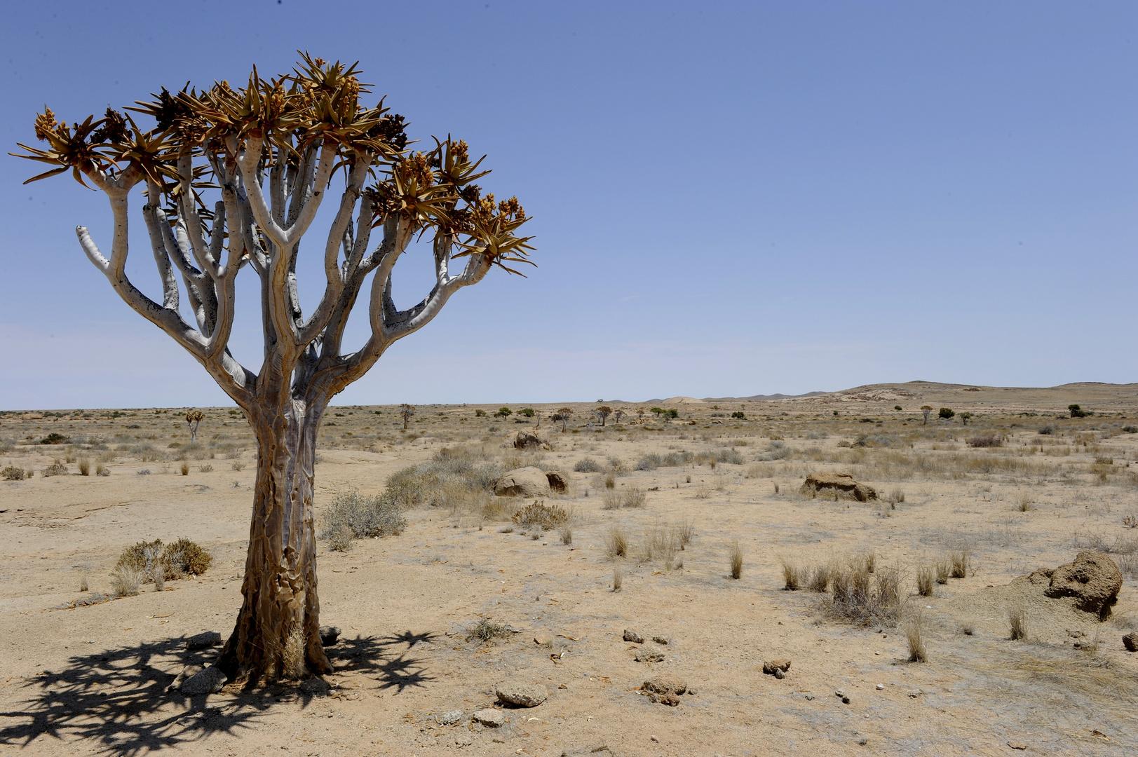 Köcherbaum am Rand des Namib-/Naukluft-Parks