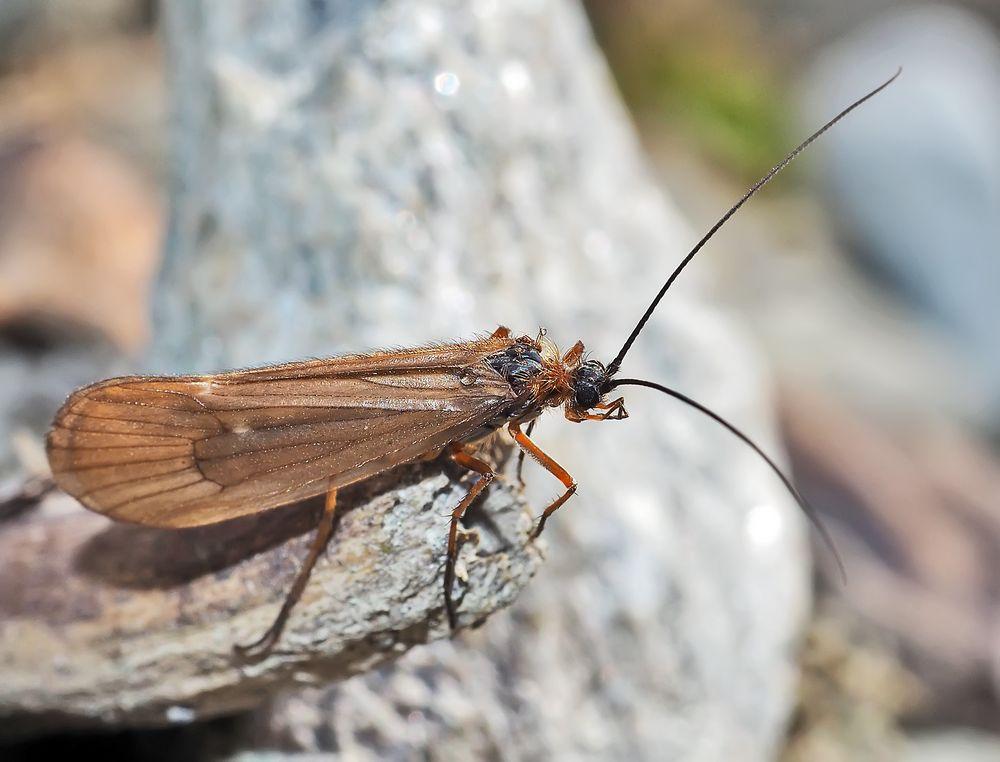 Köcherfliege (Chaetopteryx villosa) in der Nähe vom Bergbach. *