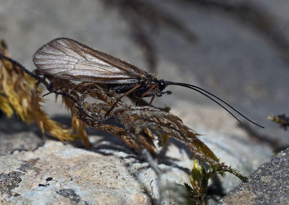Köcherfliege (Ordnung Trichoptera) *