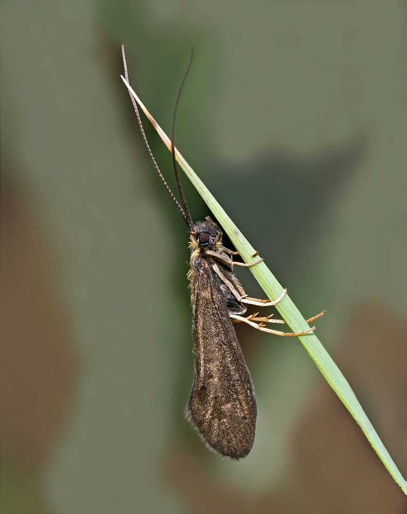 Köcherfliege: Sericostoma personatum oder S. flavicorne).* - Phryganes (genre Phryganea).