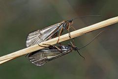 Köcherfliegen (Allogamus auricollis) - Un couple de trichoptères.