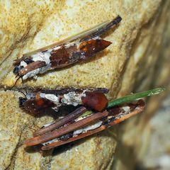 Köcherfliegenlarve (Trichoptera)