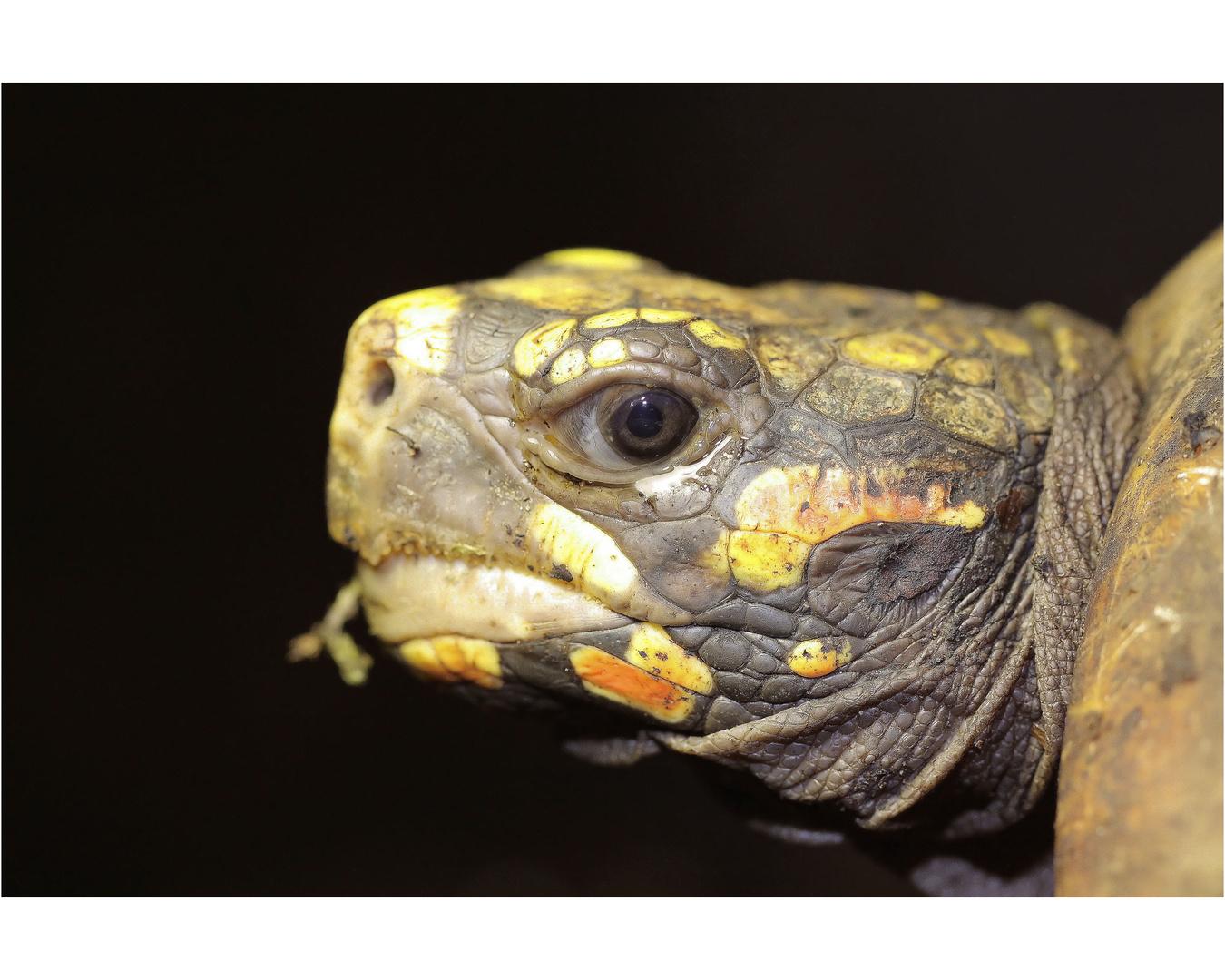 köhlerschildkröte...