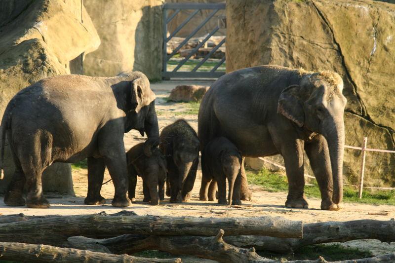 Kölner Elefanten-Kindergarten