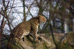 Kölner Zoo Leopard gerade wach geworden