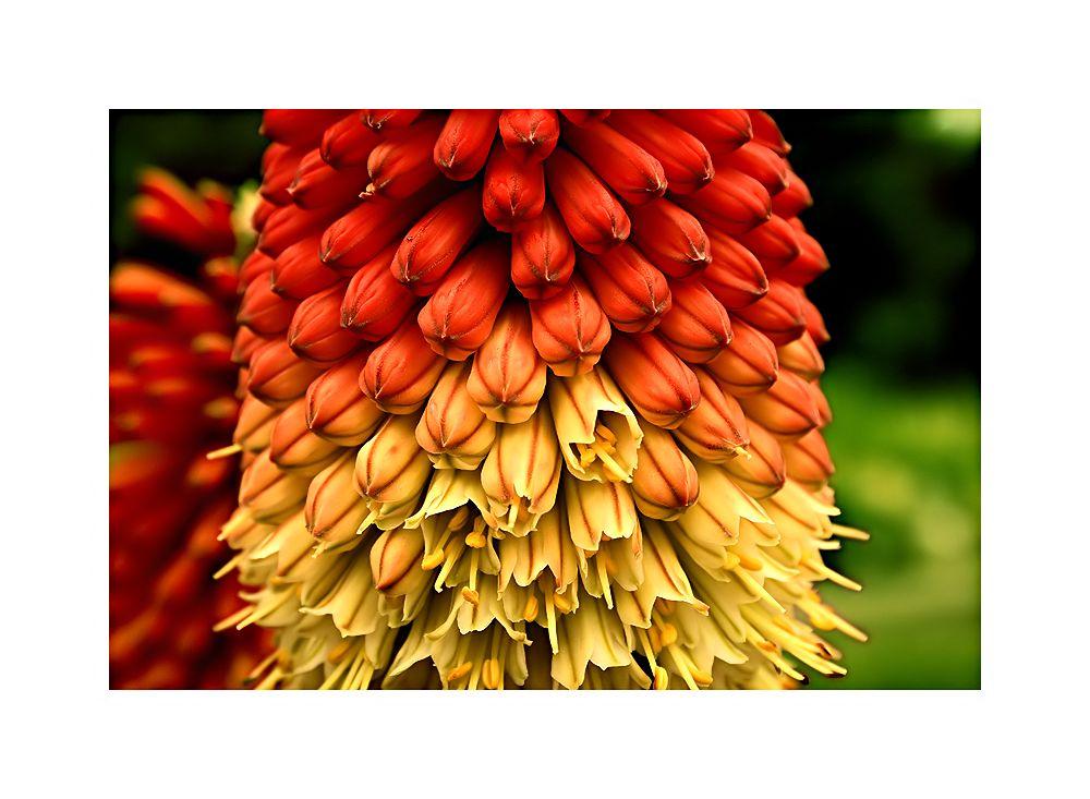 König Blume