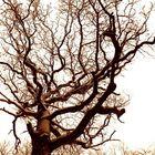 König der Bäume