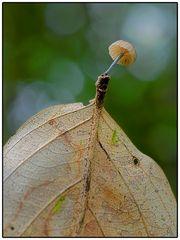 König der Blätterpilze