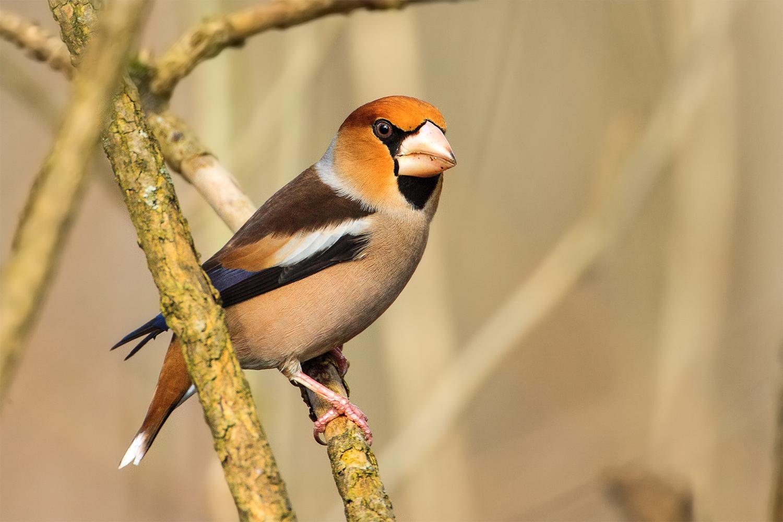 König Der Finken Foto Bild Natur Vögel Wildlife Bilder Auf