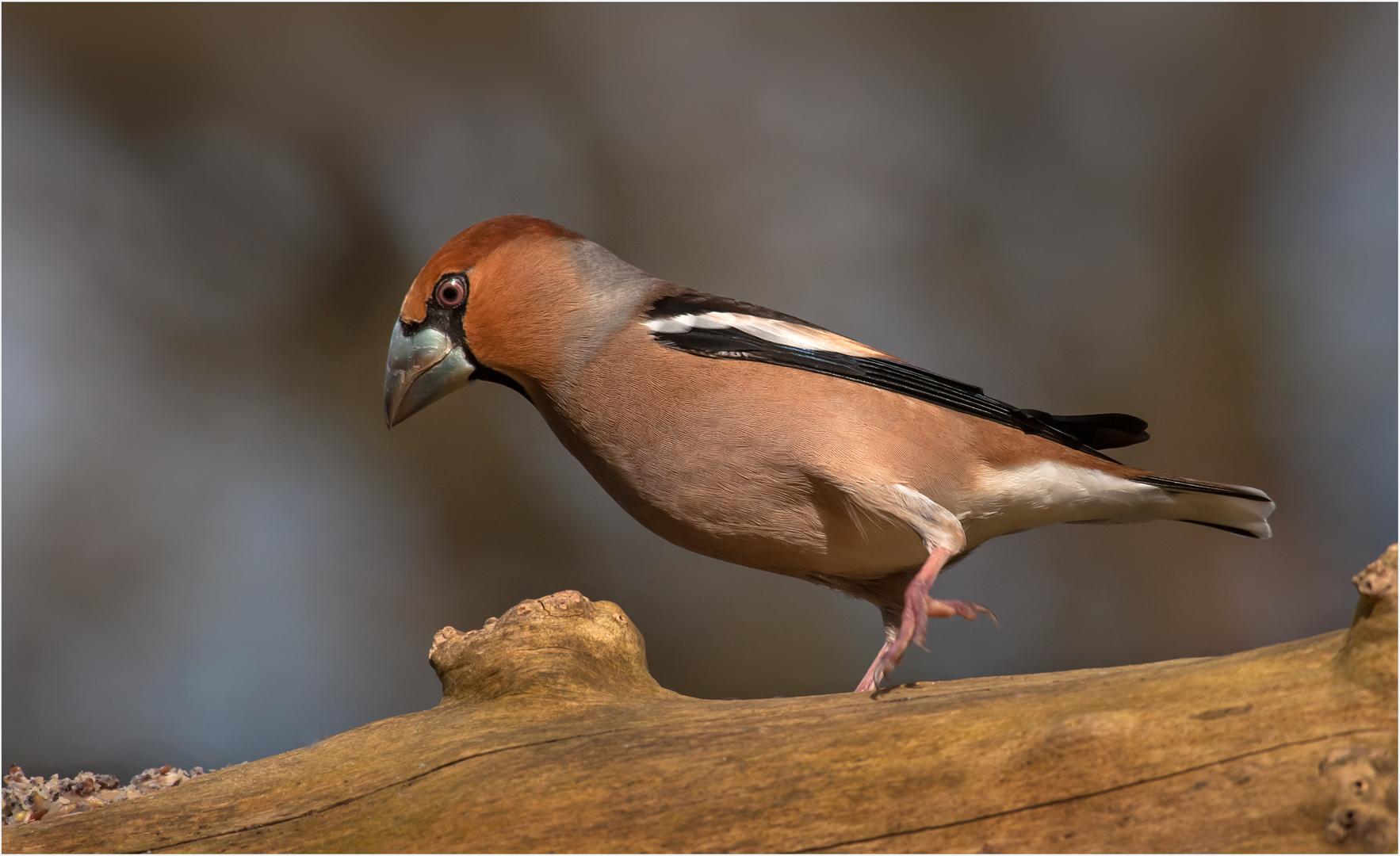 König Der Finken Foto Bild Winter Natur Bird Bilder Auf