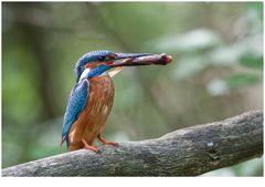König der Fischer