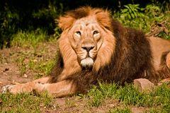 König der Tiere?
