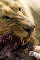 König der Tiere beim Fressen