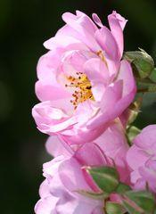 Königin der Blüten