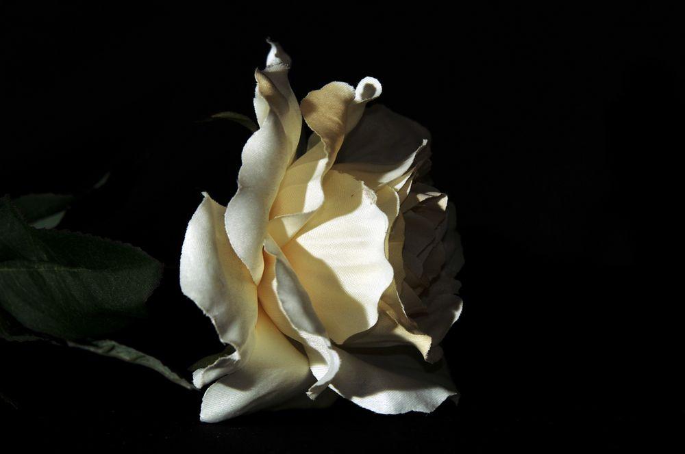 Königin der Blumen - die Rose -
