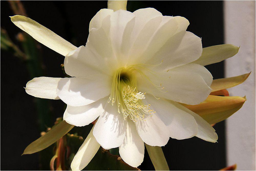Königliche Blüte