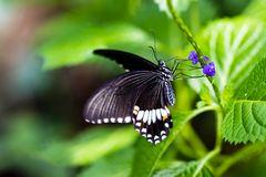 Königs-Page 46 (Papilio thoas )