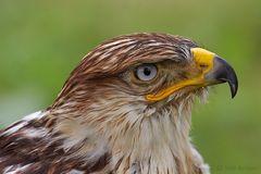 """""""Königsbussard"""" Ferruginous Hawk (Buteo regalis)"""
