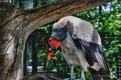 Königsgeier im Zoo Berlin