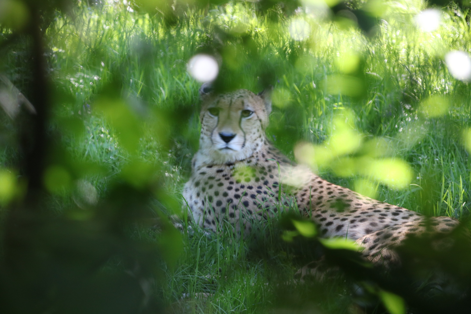 Königsgepard