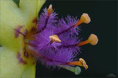 Königskerzen-Blüte