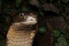 Königskobra - wachsam und neugierig