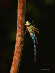 Makro Insekten, Amph