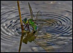 Königslibelle bei der Eiablage