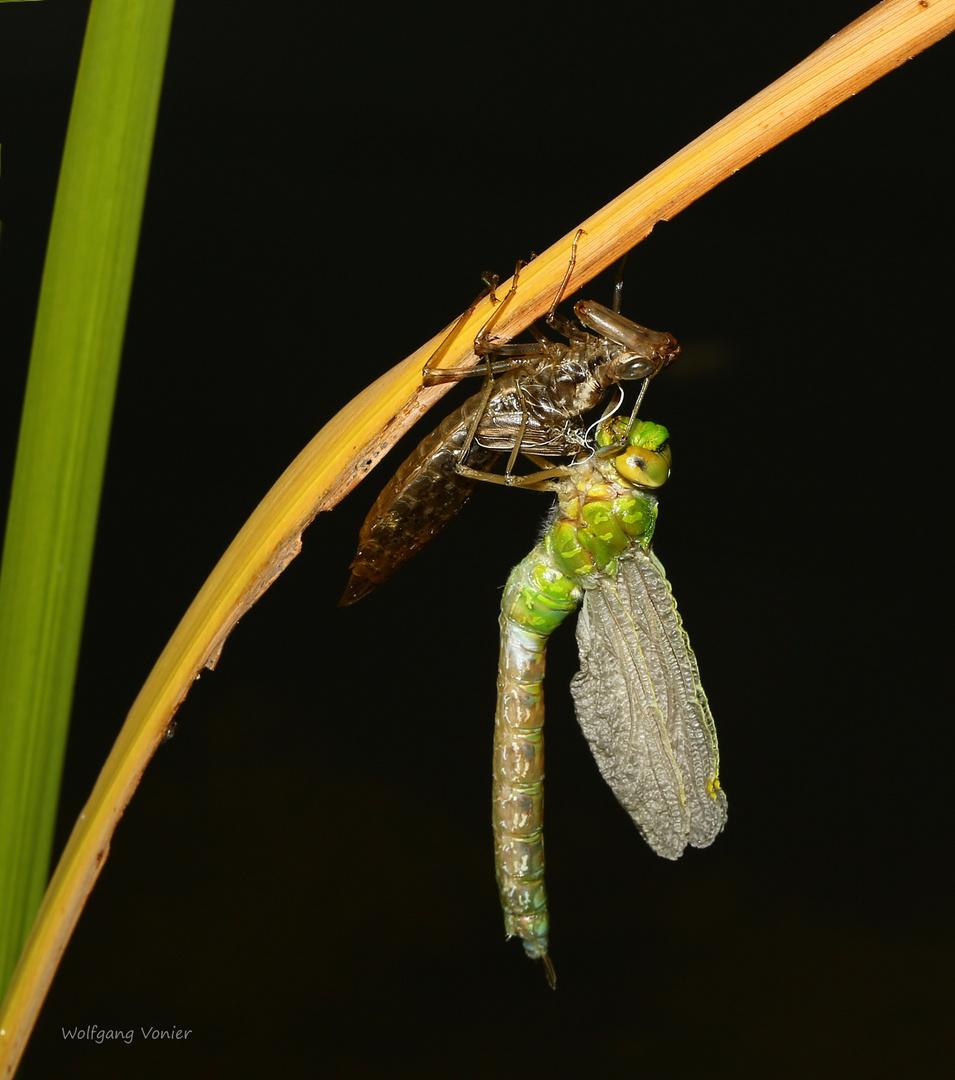 Königslibelle-beim Schlüpfen