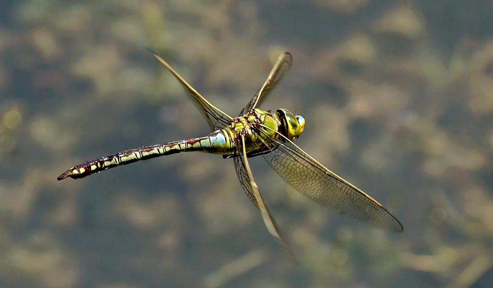 Königslibelle im Flug über dem Greither Fischteich!