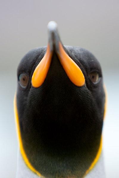 Königspinguin, King penguin, South Georgia