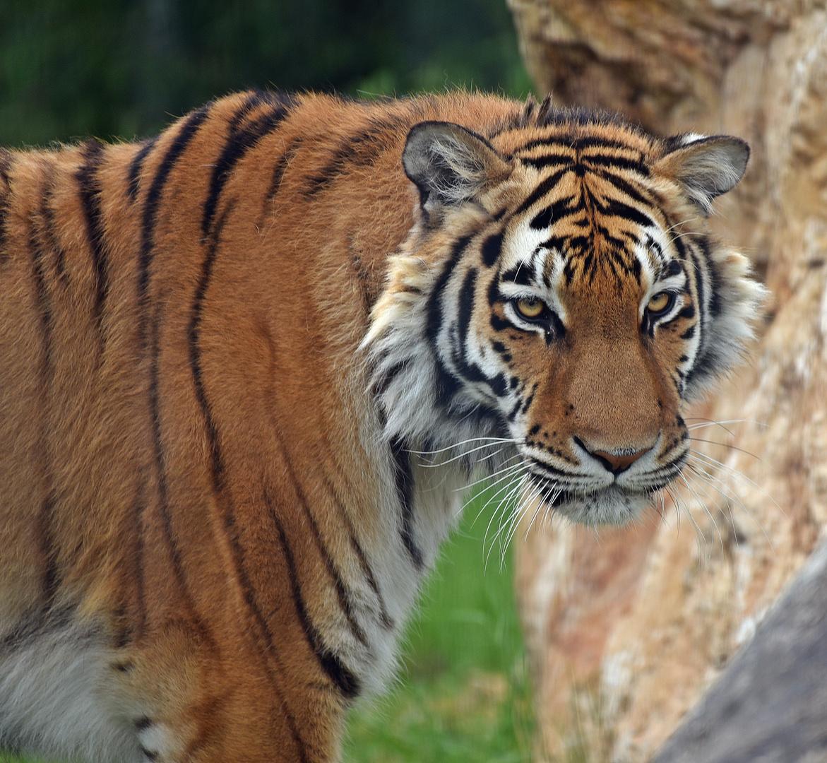 Königstiger (Panthera tigris tigris) Foto & Bild   tiere