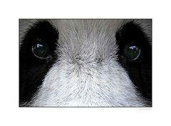 - können Panda-Augen lügen? -