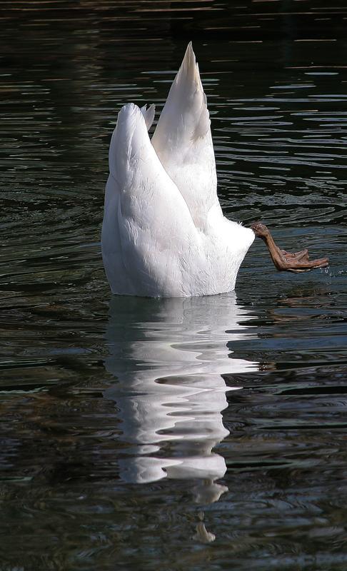 Köpfchen in das Wasser............