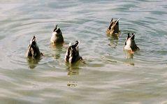 Köpfchen in das Wasser .........