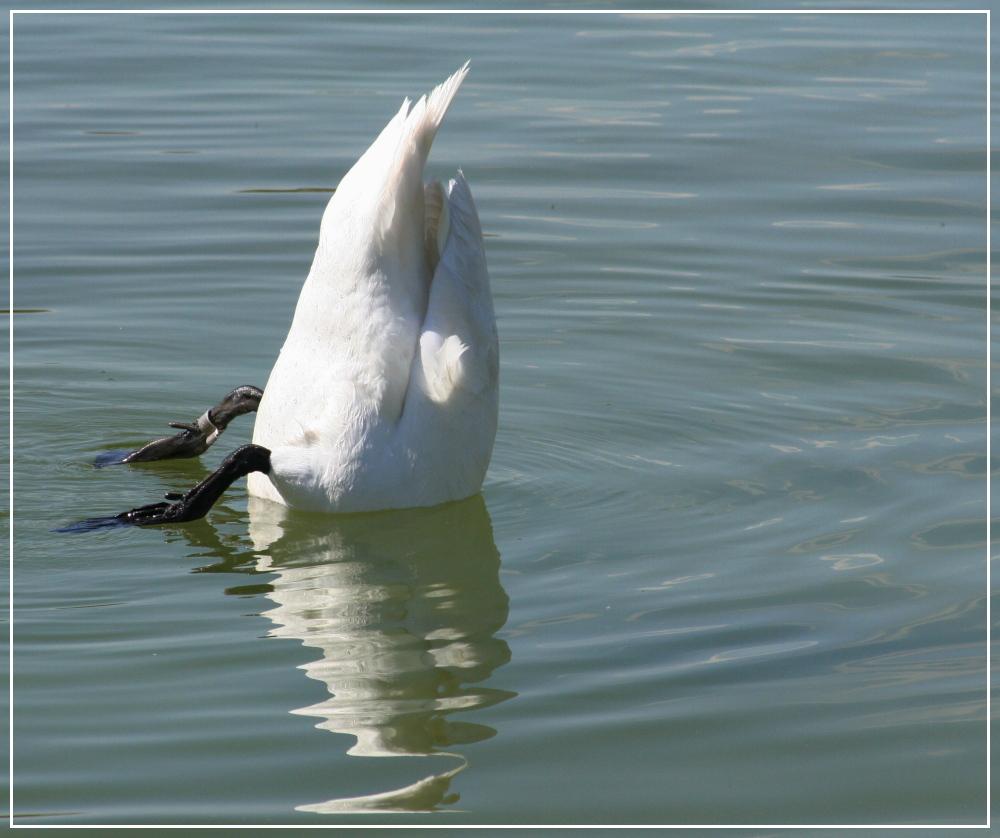 Köpfchen in das Wasser ....