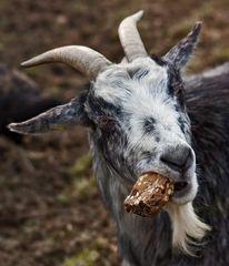 Körndlbrot schmeckt auch dem Ziegenbock!