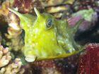 Kofferfisch / Aquarium